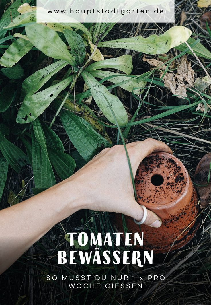 Photo of Tomaten (fast) ohne Gießen | Ollas zur Beet-Bewässerung selber machen – Gartenblog Hauptstadtgarten