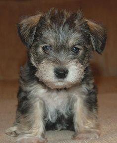 Mauzer Puppy Images Puppies For Sale Schnauzer Miniature Schnauzer Puppies