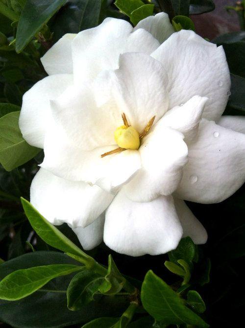 Jubilation Gardenia Order Online With Plantsbymail Com