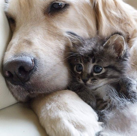 Dog Becomes Father To Rescue Kittens Photo Animaux Comme Chien