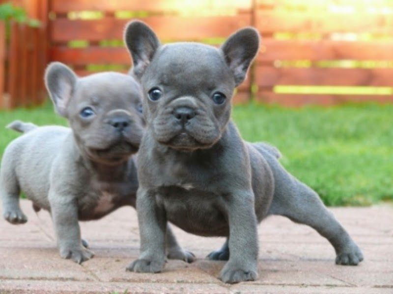 5 Best Dog Breeds To Get Along With Kids French Bulldog Puppies