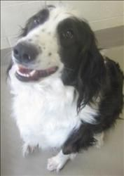 Carter Is An Adoptable English Springer Spaniel Dog In Duluth Mn Available At Animal Allies Duluth Cart English Springer Spaniel Spaniel Dog Springer Spaniel