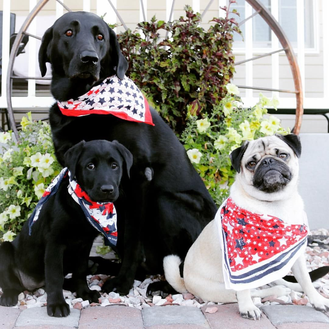 Fourth of july pug farm dogs pugs dogs