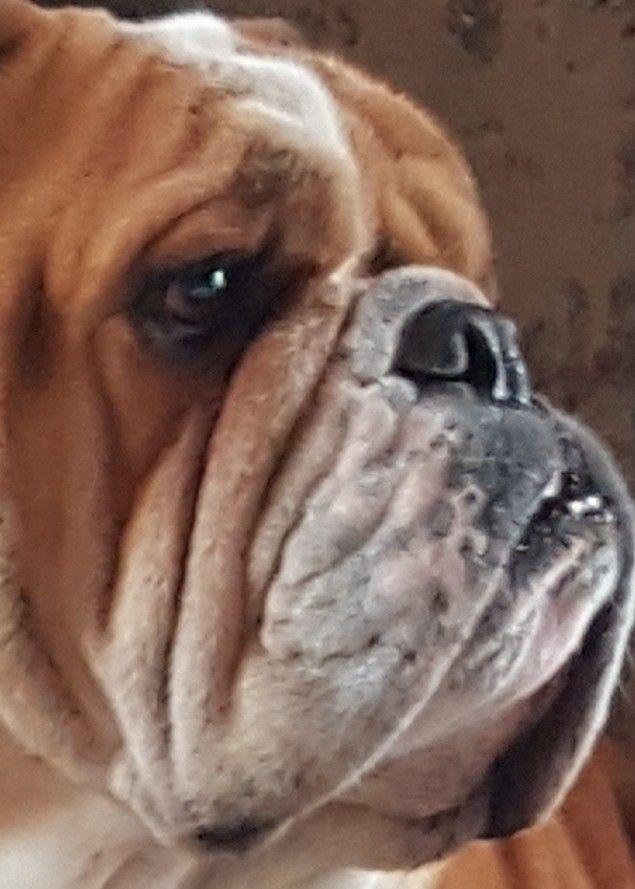 Pin Von S Gambella Auf Bulldog Bulldogge