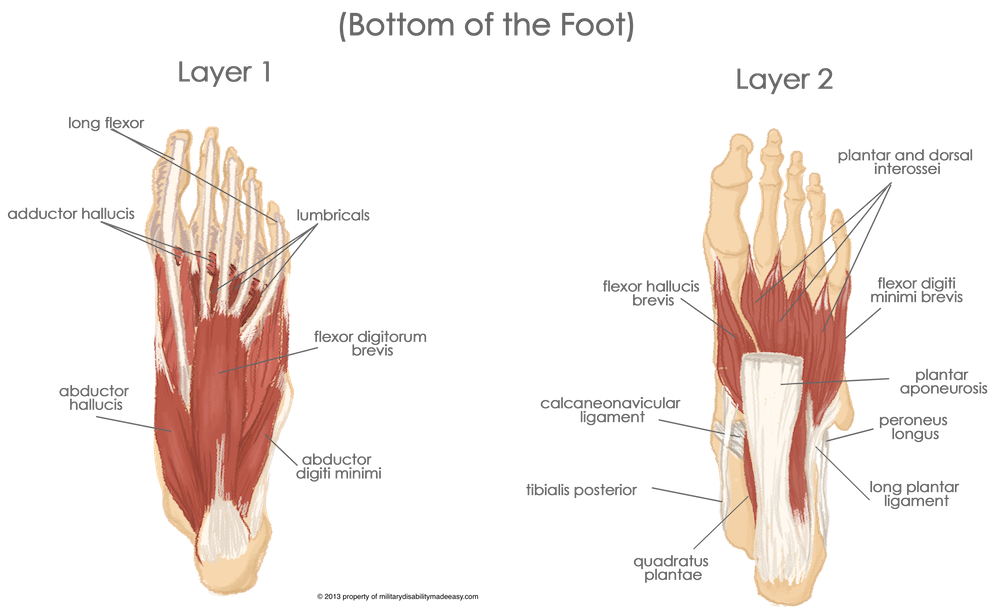 Foot Muscles Google Search Anatomy Pinterest Muscles And