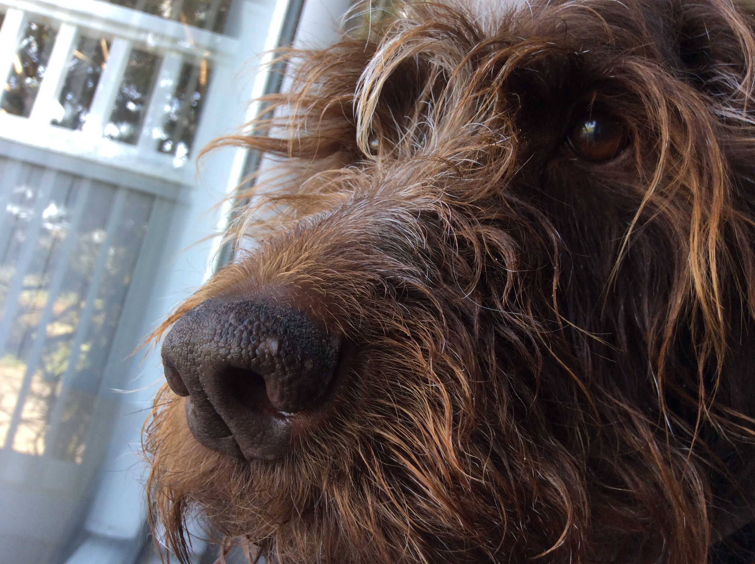 Hugo, my Wirehaired Pointing Griffon