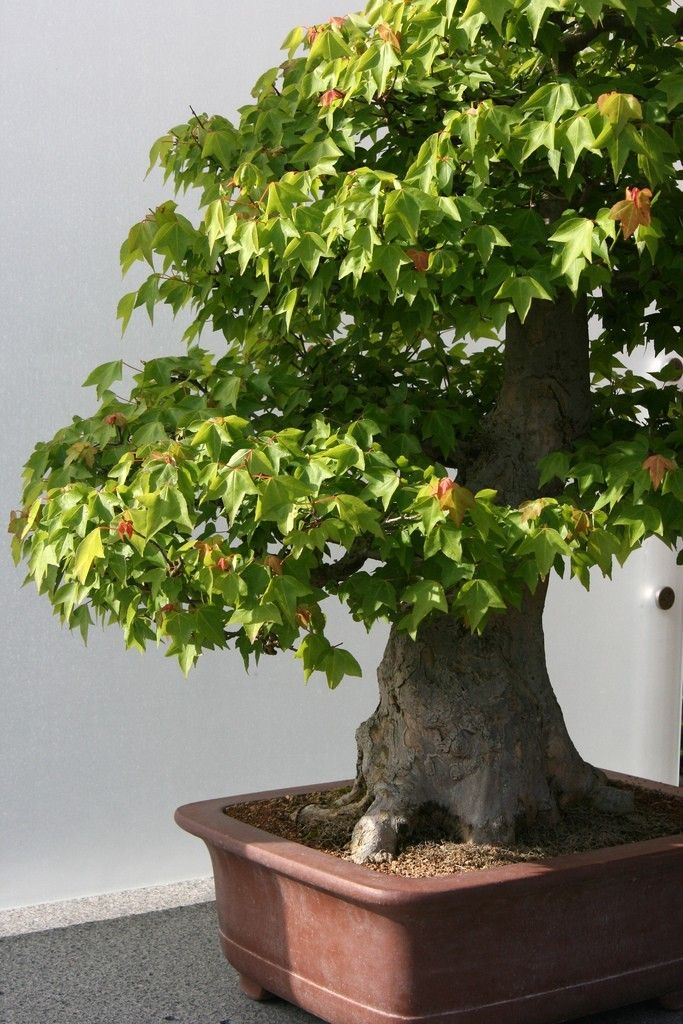 How To Grow Container Trees Trees To Plant Bonsai Tree Types Potted Trees