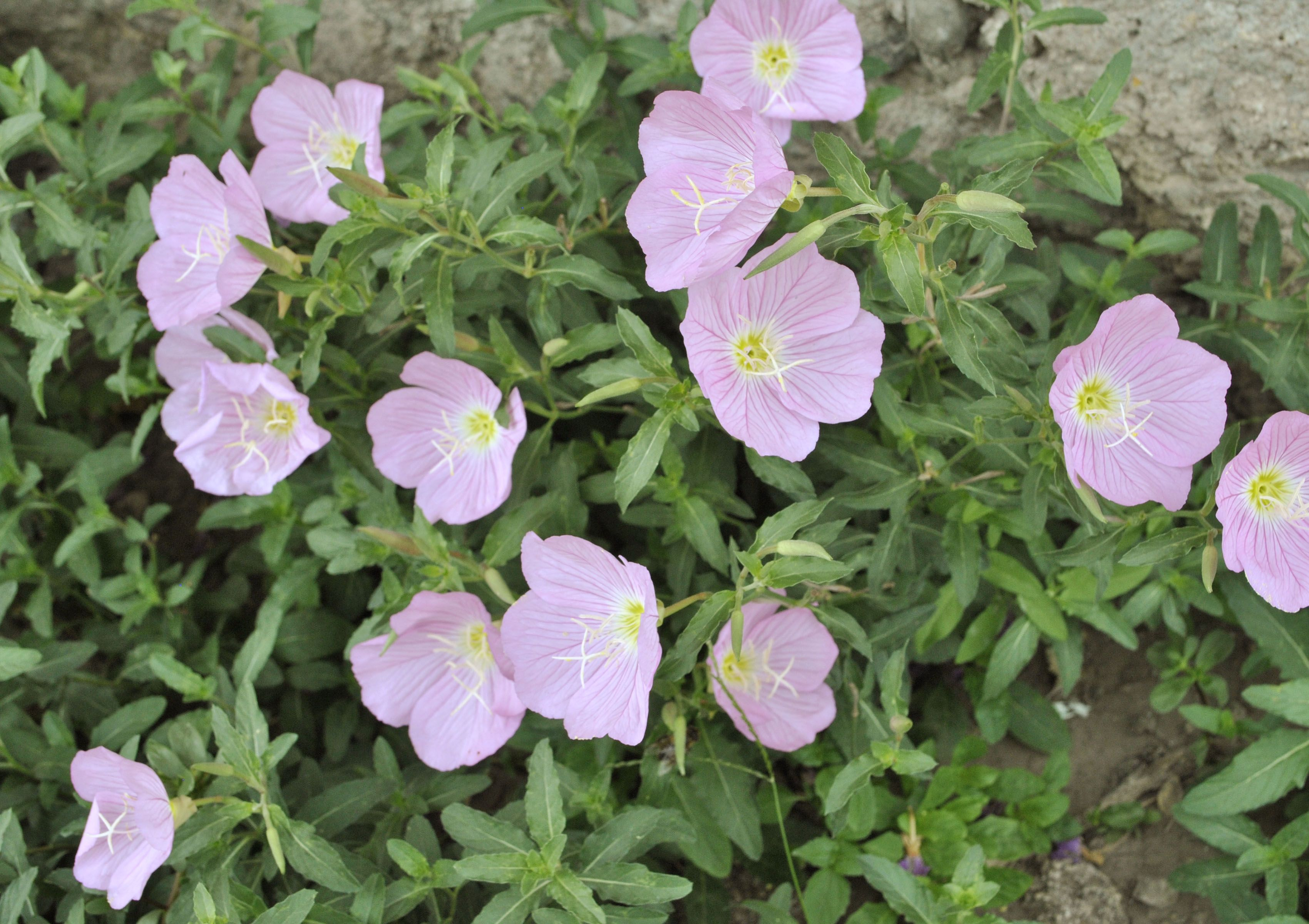 Evening Primrose Oenothera Biennis Is An American Native Biennial Plant For Some It Considered To Be A Weed Because Self Seeds Rapidly And