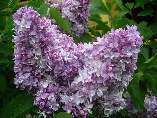 2l Pot Syringa Nadezhda Highly Fragrant Double Flowering Bicolour Lilac Shrub Garden Amp Patio Plants Seeds Amp Plant Seedlings Syringa Shrubs For Sale