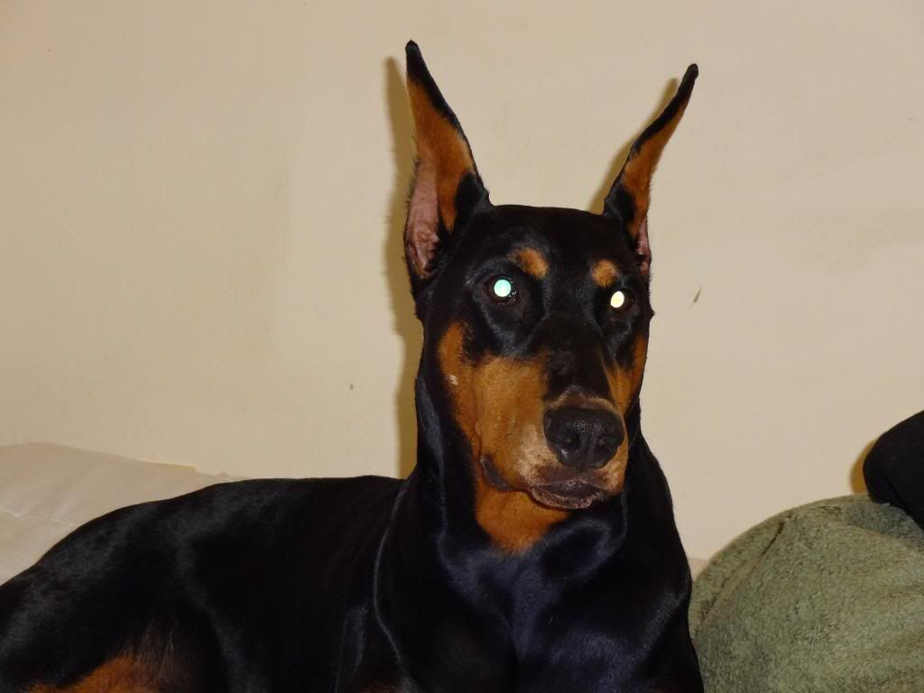 Dogs Dogs Dogs Fauna Doberman Love Animals Crazy Dog