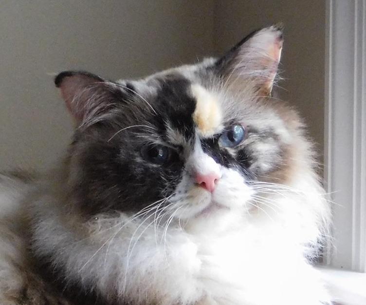 Adopt Sydney On Ragdoll Cat Pet Adoption Pets