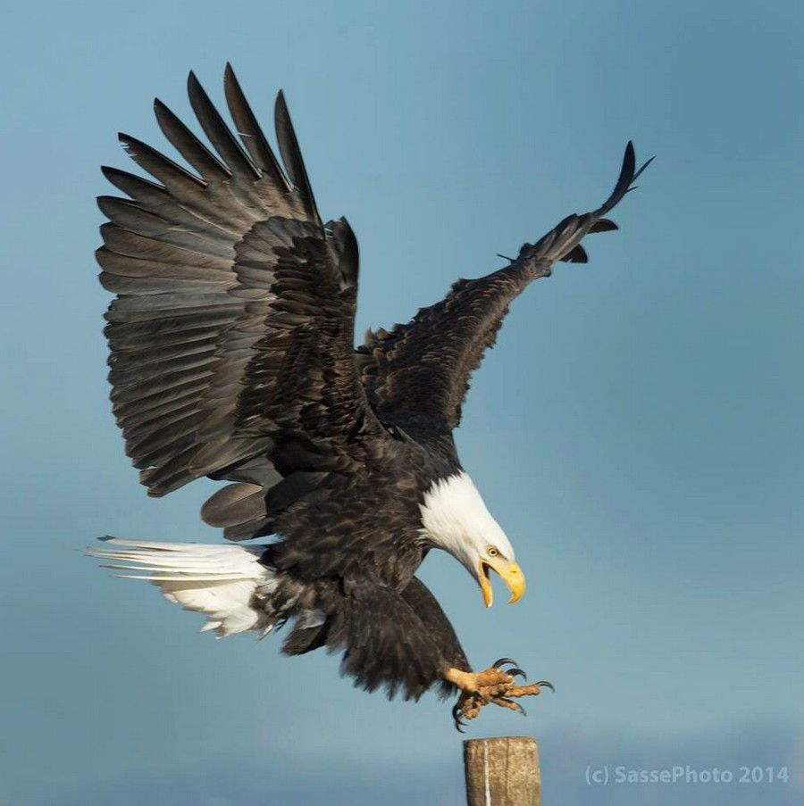 determined landing bald eagle by sasse photography