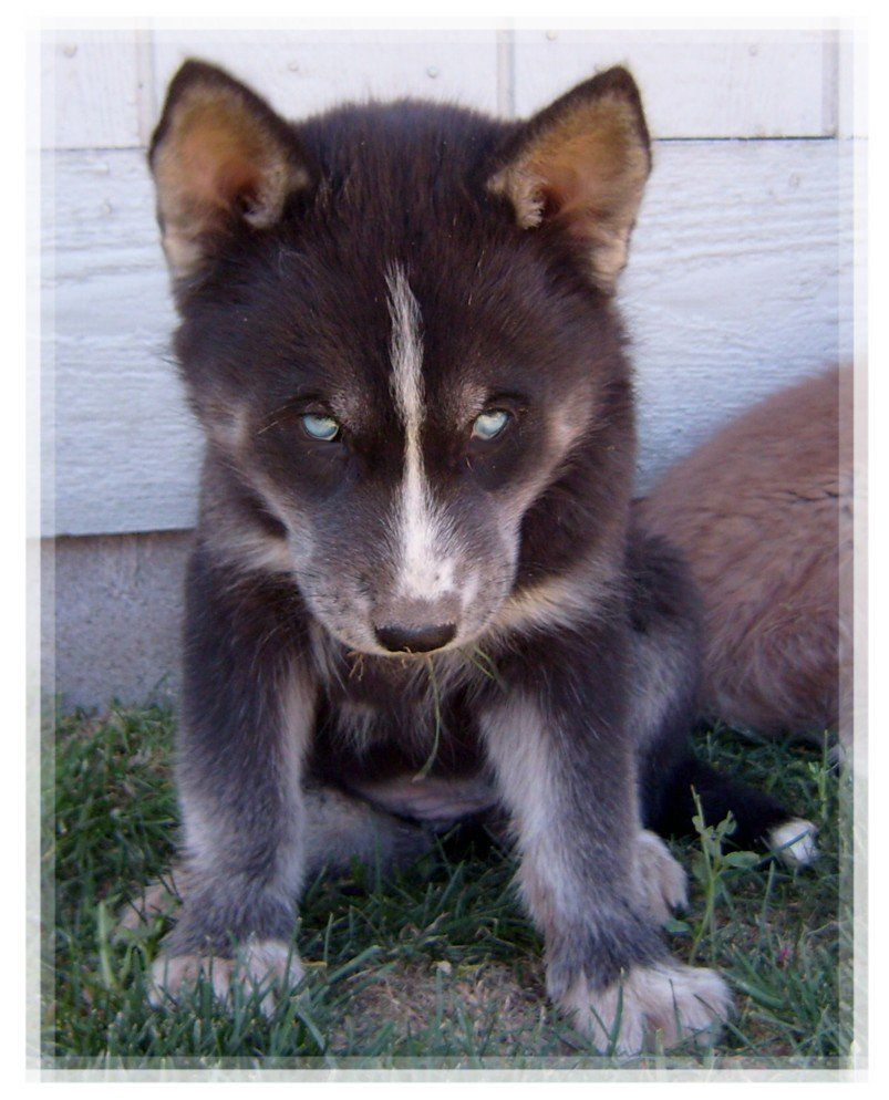 FOR SALE / ADOPTION HUSKY HYBRIDS READY NOW Wolf husky