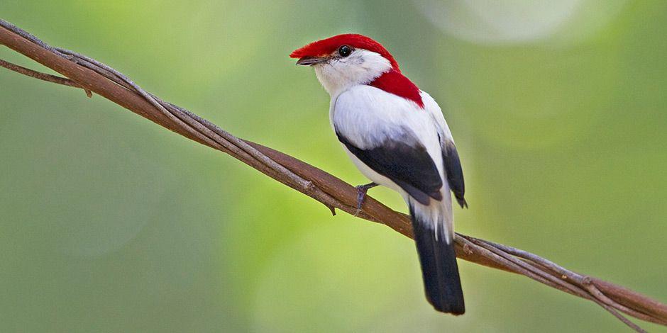 Araripepipra Endangered Animals Endangered Species Birds