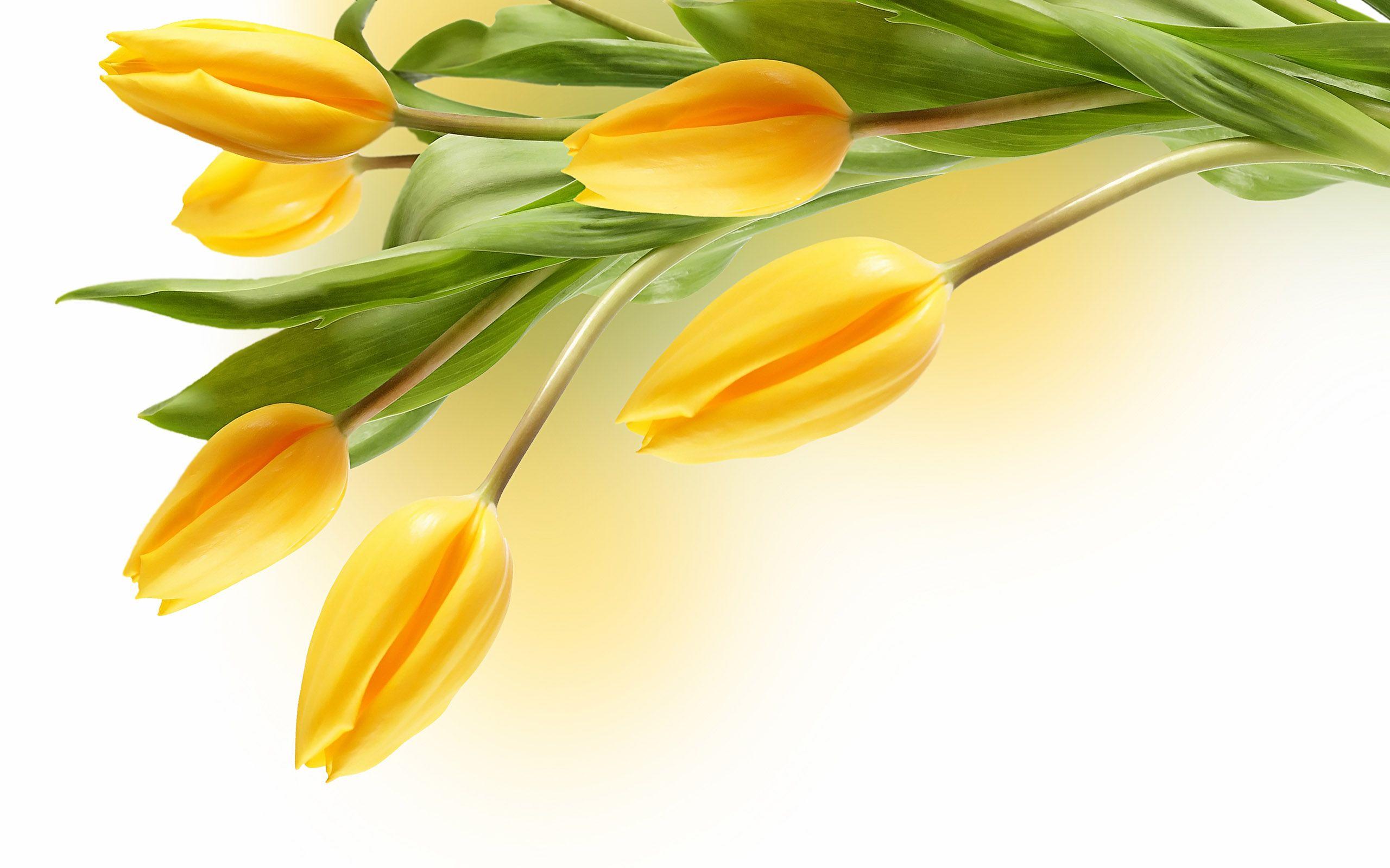 Large Tulip Picture 14062 Tulip Flowers Tulip Flower Pictures Yellow Tulips Flower Desktop Wallpaper