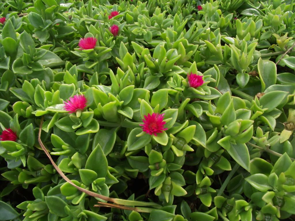 Drought Resistant Ground Cover Cordifolia Fast
