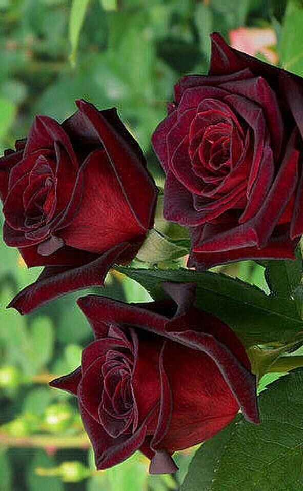 Бардовая роза картинка