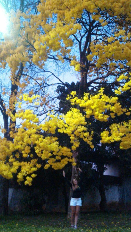 A Natureza ganha maior proporção quando damos a ela o seu devido valor na sua grandeza!! Ipê Amarelo florido e lindo!!
