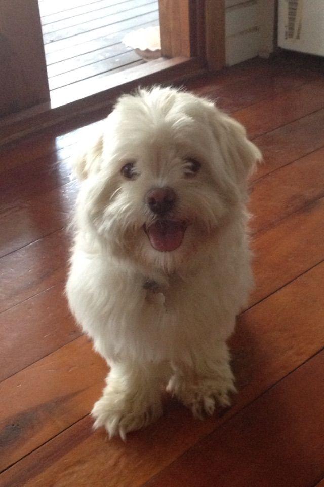 Hugo Lives In Brisbane Maltese X Shih Tzu Pawshake Sydney