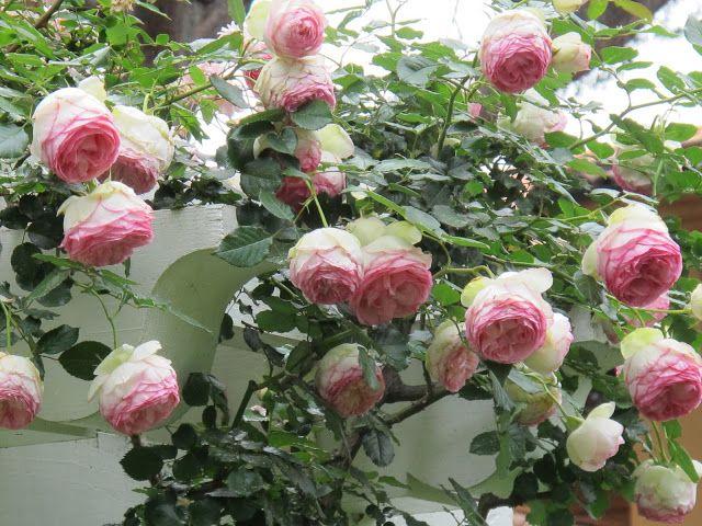 climbing roses pierre de ronsard eden rose rose. Black Bedroom Furniture Sets. Home Design Ideas