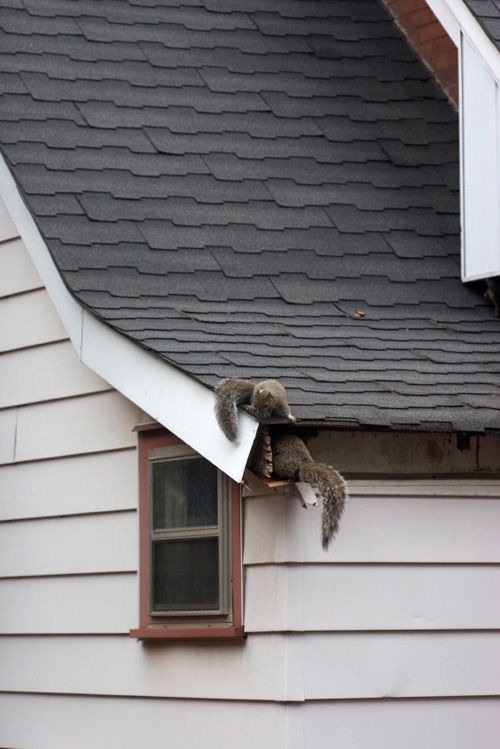How To Get Rid Of A Squirrel In Your Roof Your First