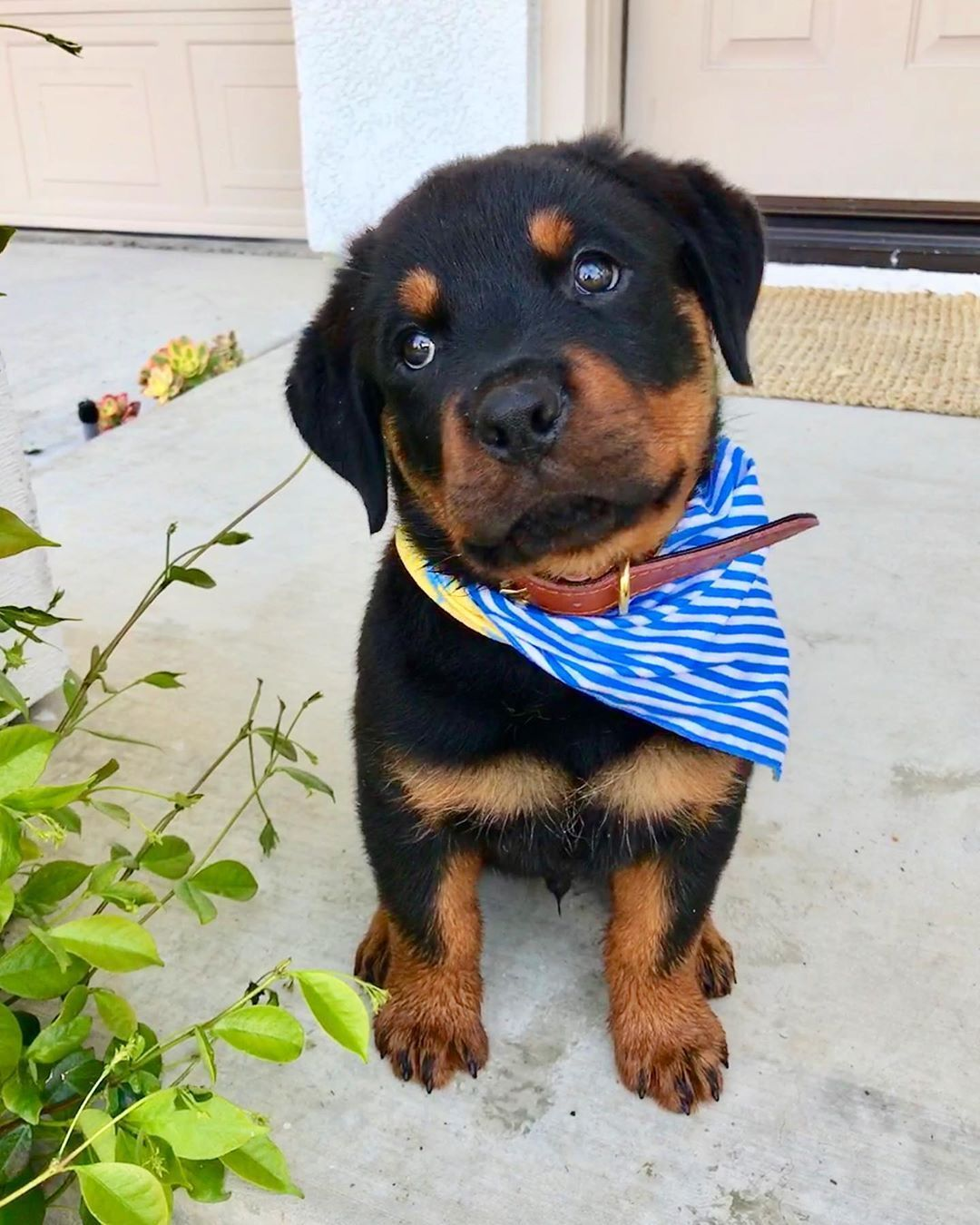 Rottweiler Tails In 2020 Baby Rottweiler Cute Dogs And Puppies Rottweiler Puppies