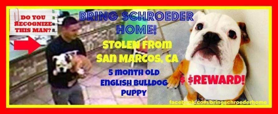Bring schroeder home english bulldog stolen in san marcos