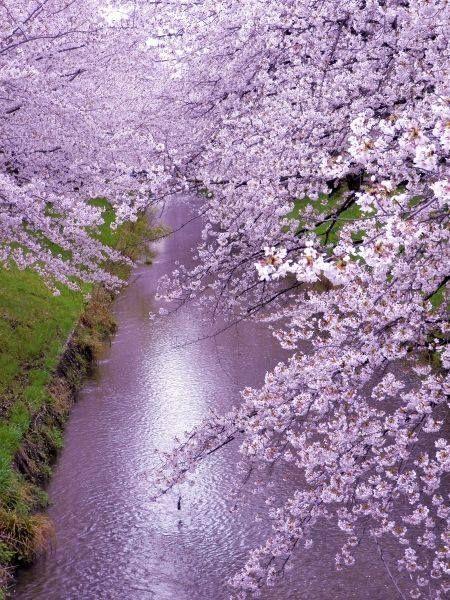 Cherry Blossom Beautiful Nature Cherry Blossom Japan Beautiful Tree