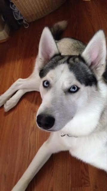 I Found Nikko On Save A Dog Dogs Husky