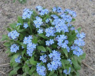 Just Seed - Flower - Myosotis - Forget Me Not - Blue Ball 250 Seed by Just Seed, http://www.amazon.co.uk/dp/B00AQTUX52/ref=cm_sw_r_pi_dp_yqgyrb0NRVMTY