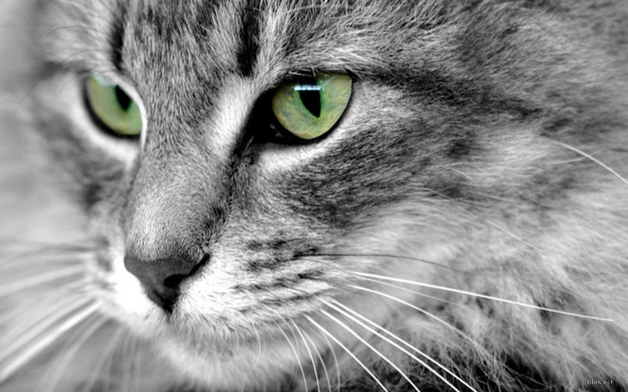 того черно-белые картинки кошек с зелеными глазами буду