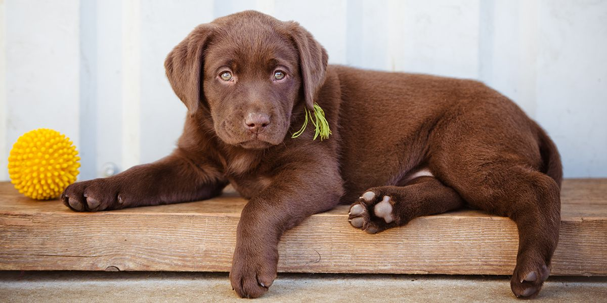 Thinking About Rescuing A Labrador Here Is An Extensive List Of The Uk Usa S Labrador Rescue Societies To Help You Best Treats For Dogs Labrador Dog Treats