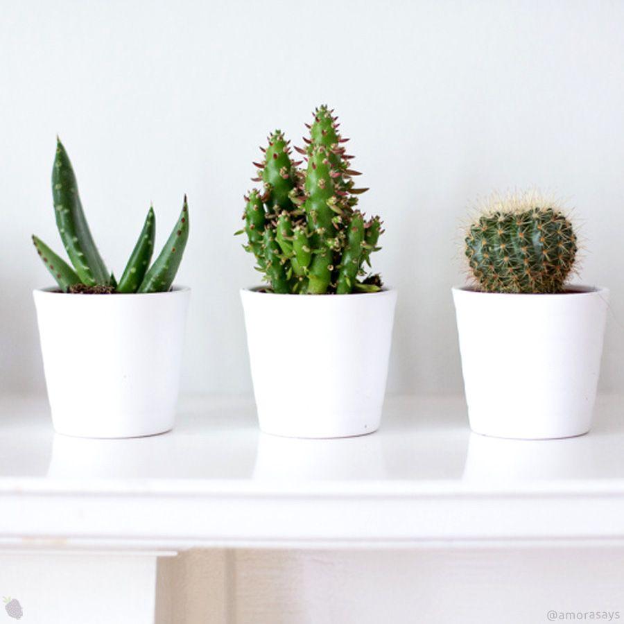 Os cactos possuem diferentes espécies, formatos e tamanhos, além de serem super fáceis de cuidar. Vem ver algumas dicas para cuidar da planta! - #cacto #decoracao #ideias #cactus #suculentas #natureza #plantas #plants #instalove #blogger #trend #decoration #idea #amorasays