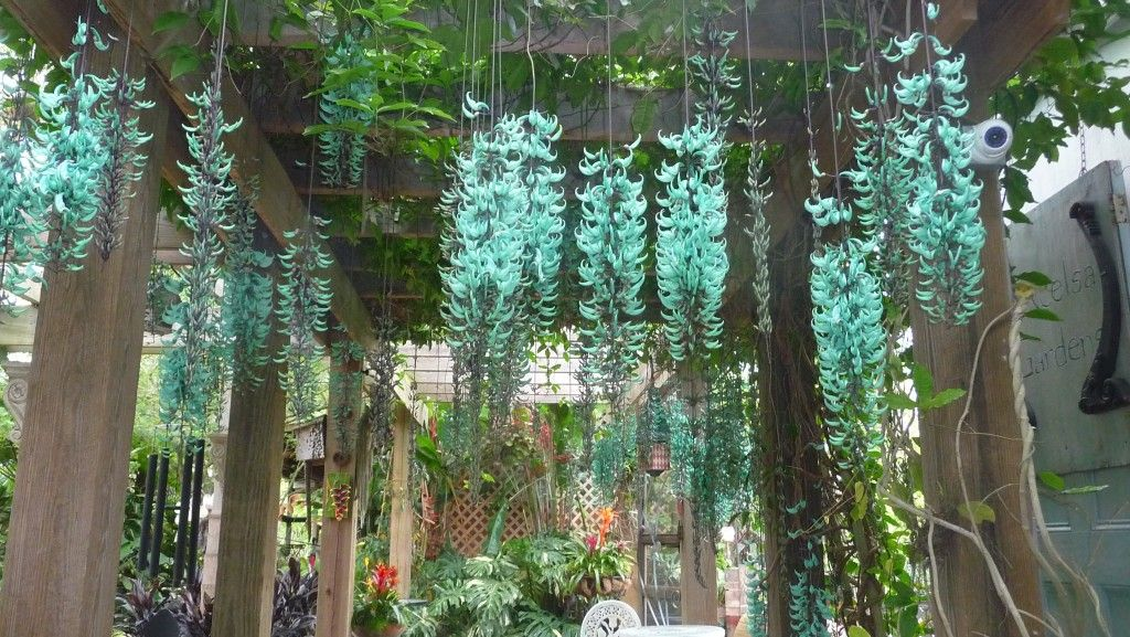 I Love How This Looks Strongylodon Macrobotrys Green Jade Vine