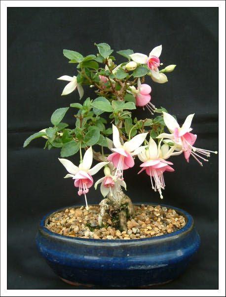 Bonsai Garden Latest News,Fuchsia Bonsai