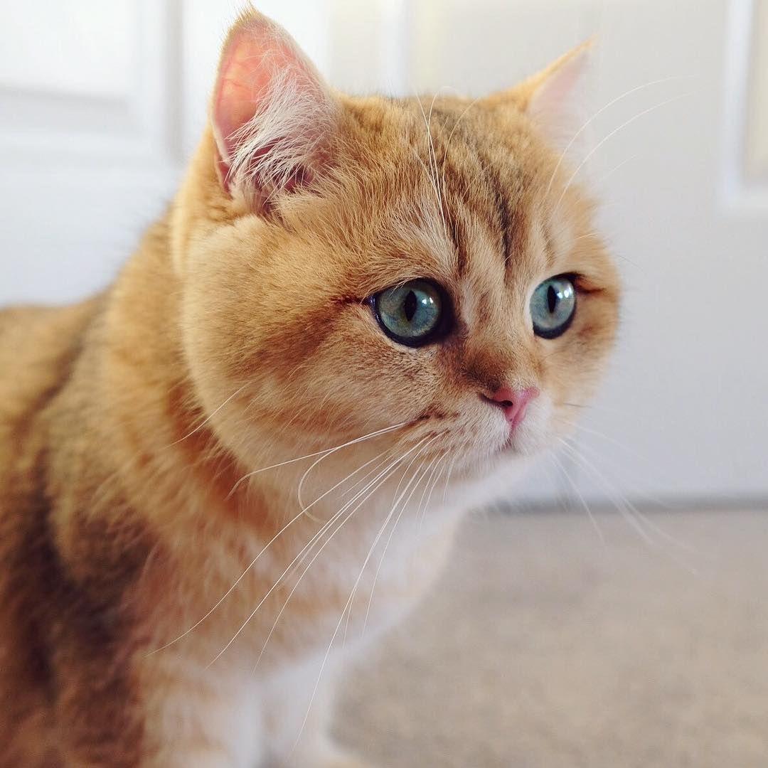 Artofsocrates British Shorthair Cat British Shorthair
