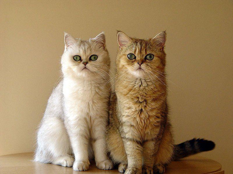 Persian cats   Top 15 most cutest cat breeds