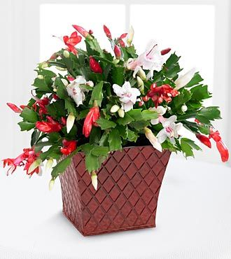 FTD Flowers Peppermint Perfection Christmas Cactus by Better Homes