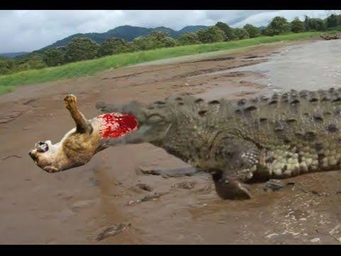 악어 싸움 사자 vs 트라이치 침구 - Crocodile vs lion vs tiger Fight to ...
