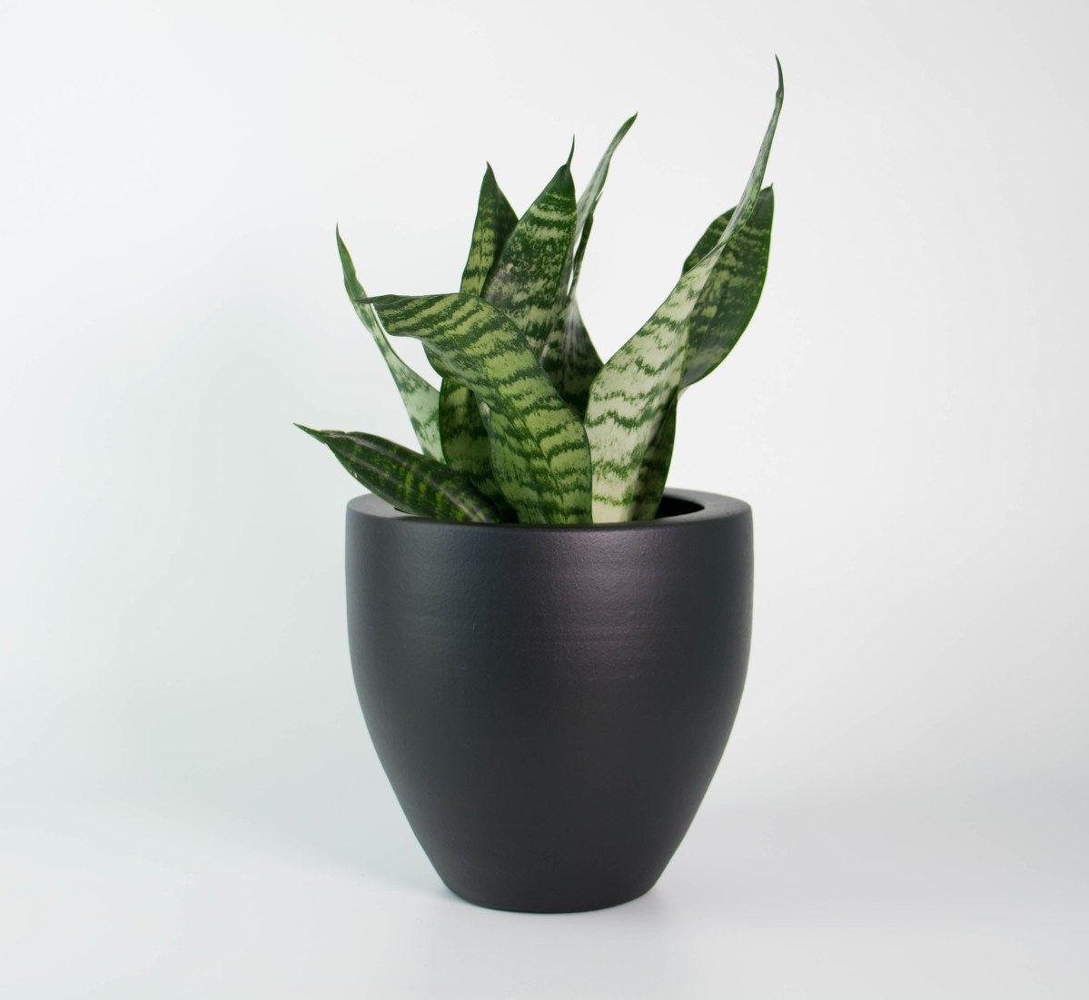 snake plant in matt black pot garden. Black Bedroom Furniture Sets. Home Design Ideas