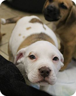 German Shepherd Dog Staffordshire Bull Terrier Mix Puppy For