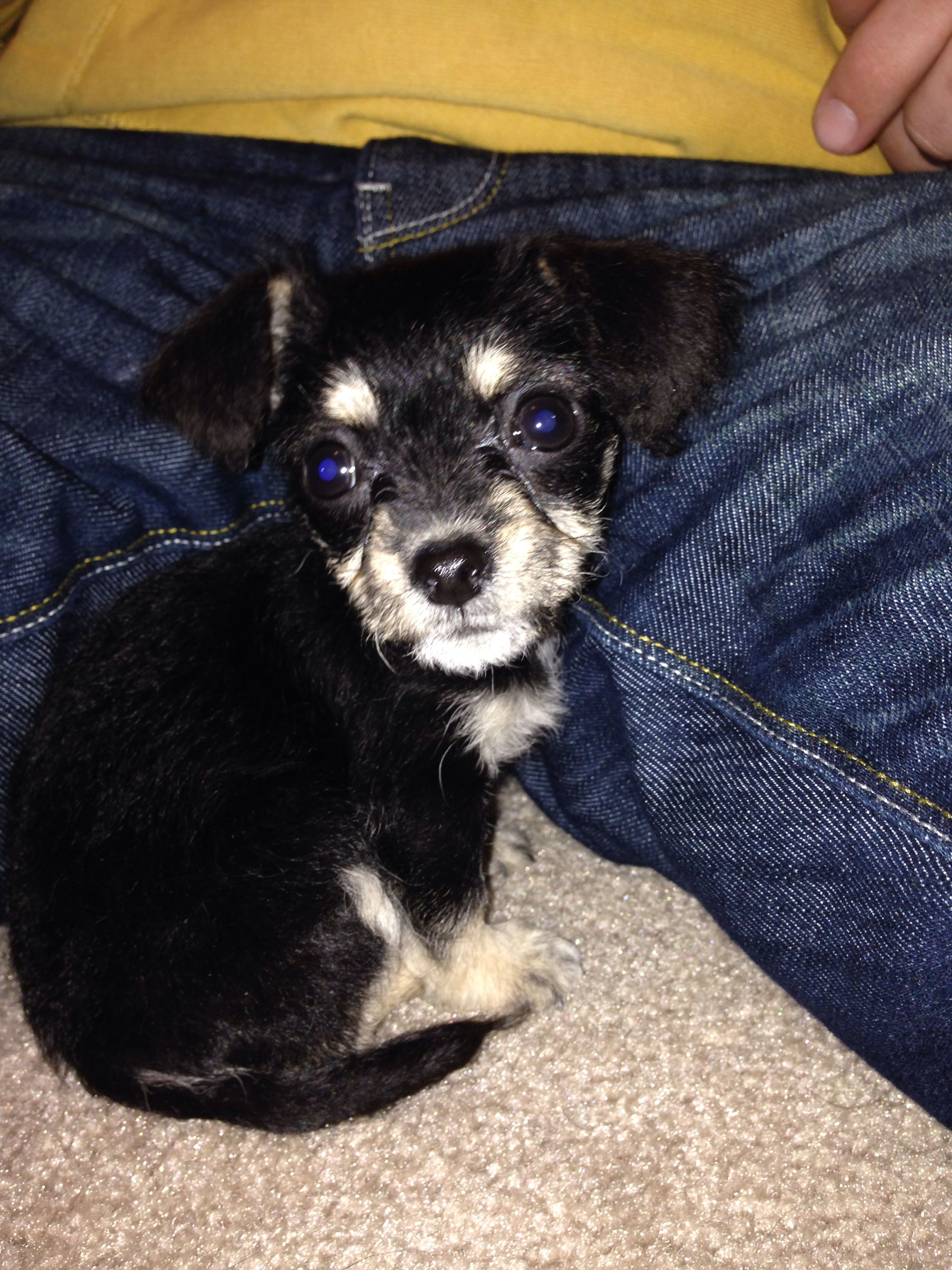 Rylee Chihuahua Poodle Mix Chi Poo Adorable Puppy We Love Her