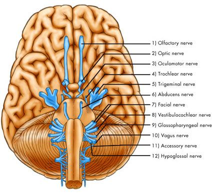 Cranial Nerves Medecine Generale
