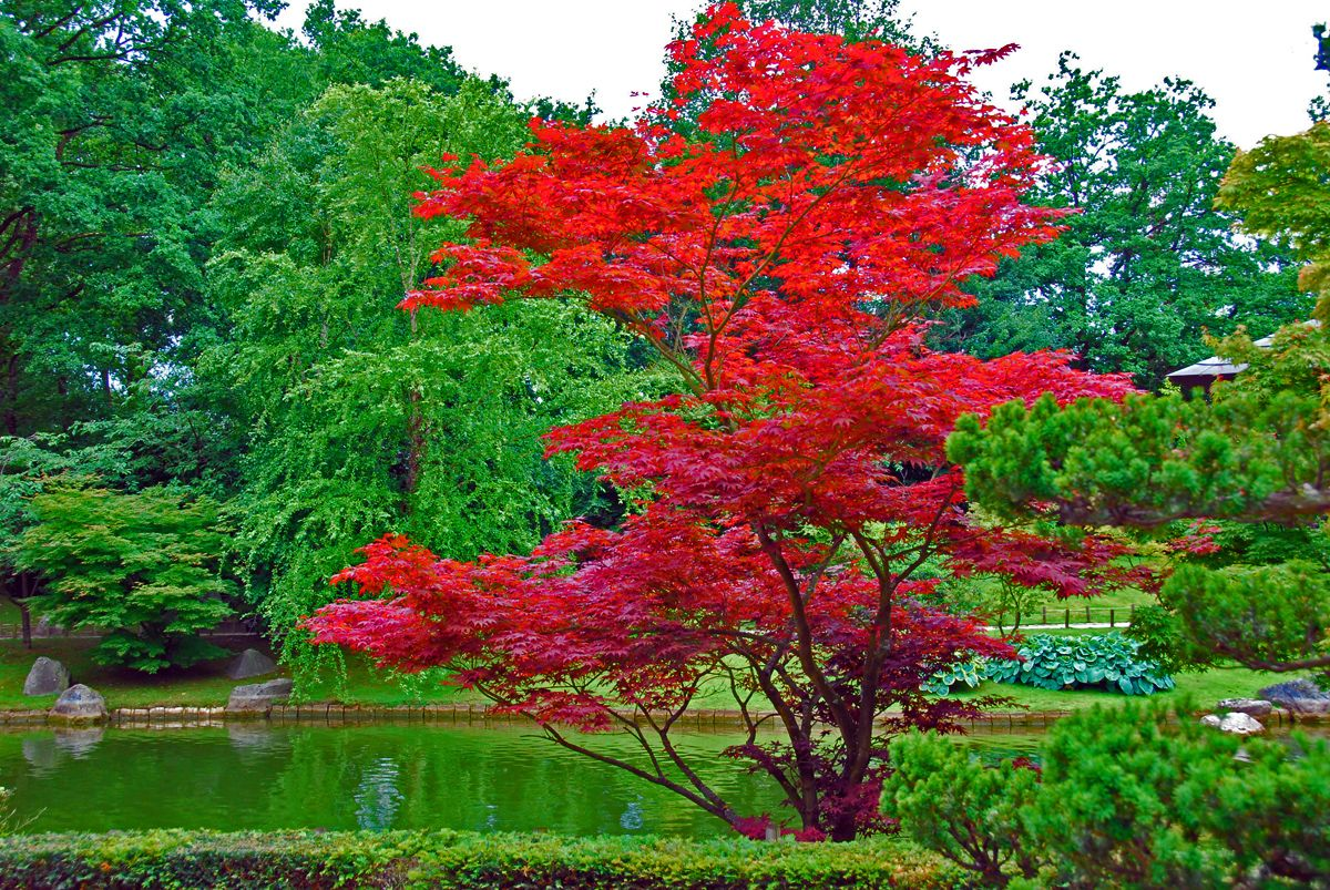L\'Acer rouge du Japon, Acer Palmatum, un arbre fabuleux, il illumine ...