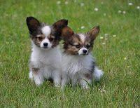 Papillon Puppies Papillon Puppy Papillon Dog Papillon Dog Puppy