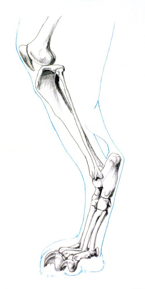 feline-hind-leg-bones.jpeg (500×997) | ArtTips/Tuts/Refs | Pinterest ...