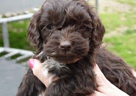 Litter of 5 Maltipoo puppies for sale in BOLINGBROOK, IL