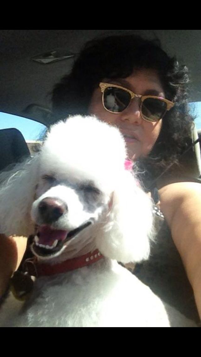 Miss Cupcake Happily Returning From Her Grooming Poodle Dog