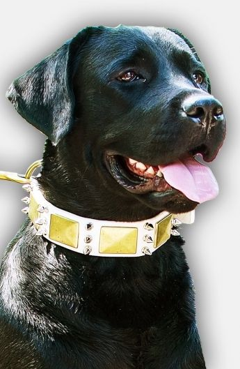 This designer white leather Labrador collar is decorated with spikes and massive…