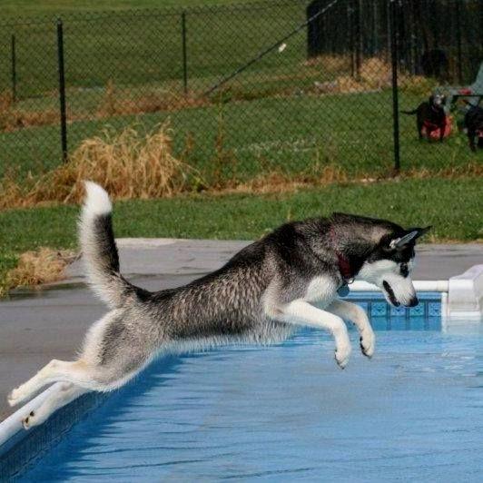 """Paw""ty in the pool Siberian #Husky."
